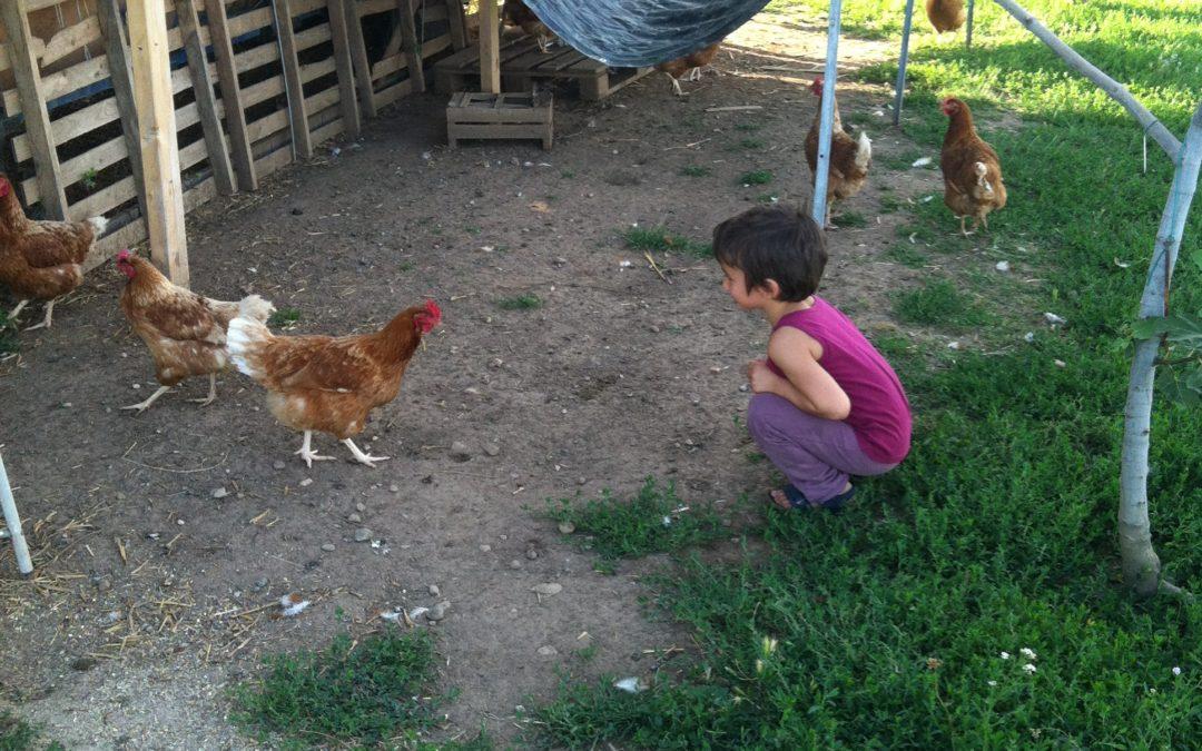 Le galline con il buon Karma.